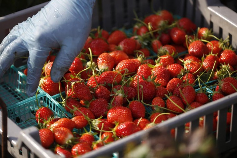 澳洲找工作英文範例-草莓包裝
