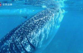 Philinter 語言學校-週末活動(Oslob 和鯨鯊游泳)