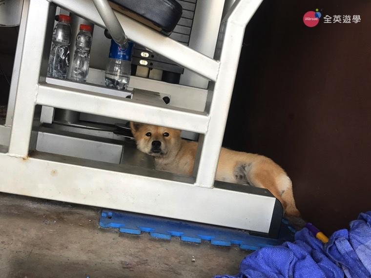 ▲可愛的校狗 Yangco 最喜歡躲在健身器材下陪學生運動了!