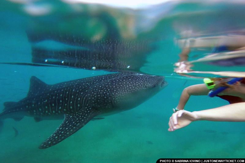 來宿霧 Oslob可以與超大的鯨鯊一起游泳  Get close to the whale sharks