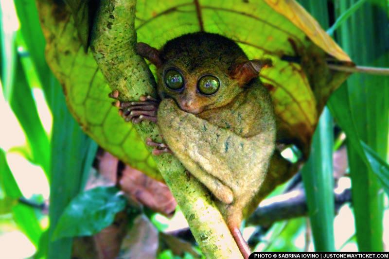 宿霧薄荷島的眼鏡猴,最喜歡的活動是睡覺 The Philippine tarsier