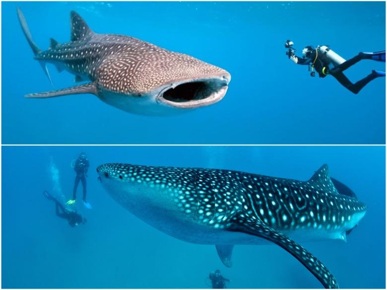 菲律賓遊學推薦必玩行程,宿霧 oslob 與世界上最大的鯨鯊游泳