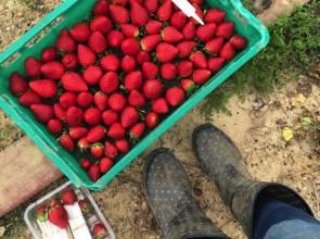 ▲ 草莓農場 picker 初體驗