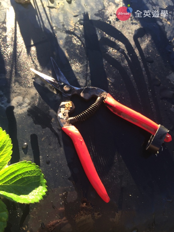 澳洲打工度假草莓農場實用字彙_4