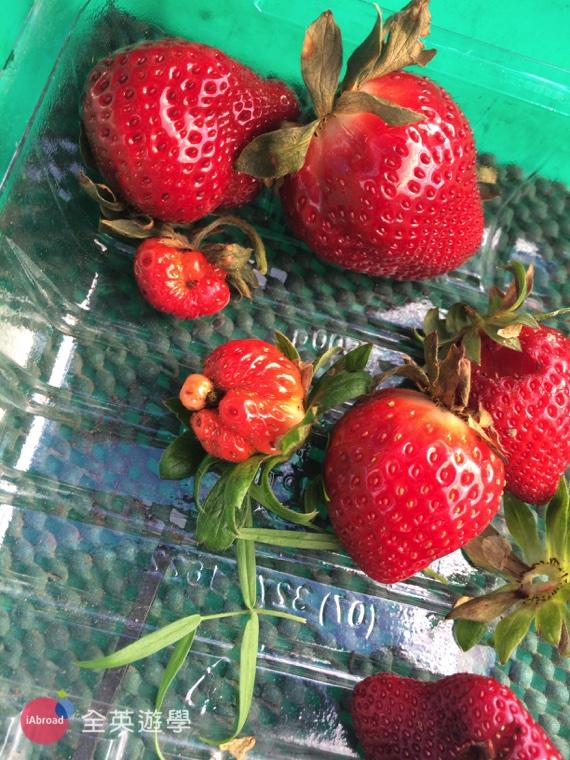 澳洲打工度假草莓農場實用字彙_5